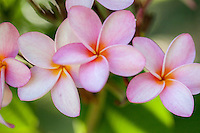 Frangipani Flowers<br /> Virgin Islands
