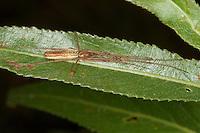 Gemeine Streckerspinne, Tetragnatha cf. extensa, Long-jawed spider, long-jawed orb weaver