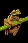 Masked Tree Frog (Smilisca phaeota), Costa Rica