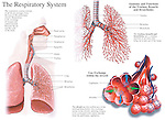 This medical exhibit features the anatomy of the respiratory system and lungs.  Labels: nasal cavity, nasopharynx, oropharynx, epiglottis, glottis, trachea, lung bronchus and bronchioles. Also depicts the anatomy and functions of the trachea, bronchi and bronchioles. The final graphic shows gas exchange within an alveolus, the thin-walled sac of the terminal bronchioles. Oxygen and carbon dioxide are seen moving to and from the pulmonary capillaries.