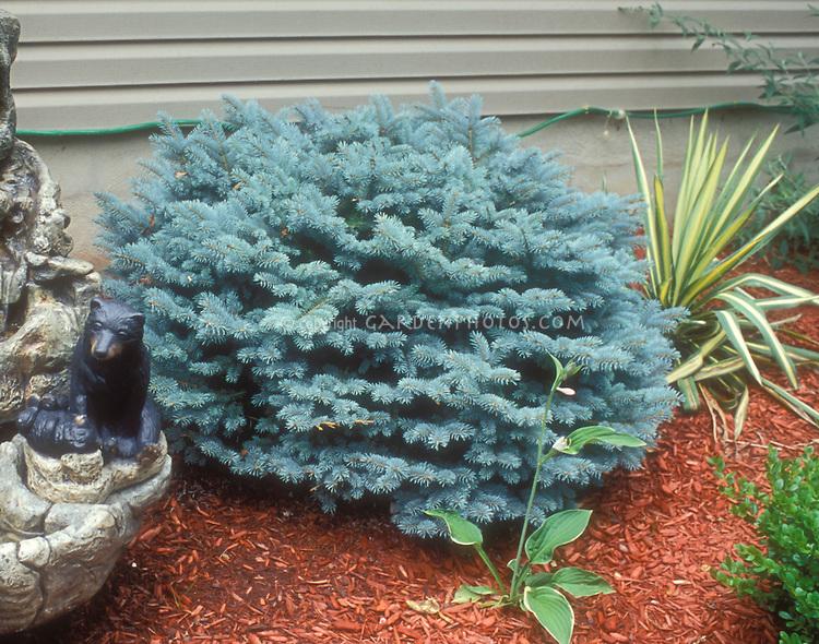 Dwarf blue spruce Picea pungens Glauca Globosa