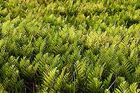 Marsh Fern meadow, Pine Barrens, New Jersey