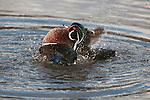 Wood Duck drake (male) bathing