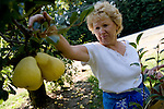 Cookie Ivicevich salvages what pears she can from her family's orchard in Lakeport, CA on Tuesday, September 12, 2006. Stepped-up border enforcement has led to a shortage of migrant labor which has left much of the pear crop rotting on the tree and ground in Lake County.