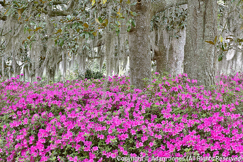 Azaleas and Live Oak trees draped in spanish moss, Middleton Place plantation, South Carolina