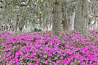 Azaleas and Live Oak trees draped in spanish moss, Middleton Place plantation, South Carolina