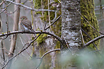 Canada, British Columbia, Vancouver, northern pygmy owl (Glaucidium californicum)