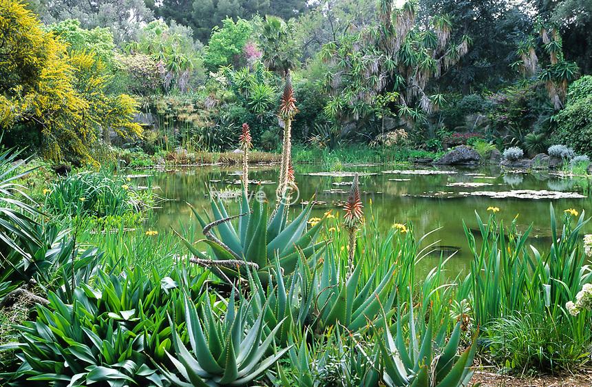 06/ Jardin botanique &quot;Les Cèdres&quot;<br /> Autour du &quot;lac&quot; : iris des marais (Iris pseudacorus), aloès (Aloe), mimosa à feuilles de saule (Acacia salicifolia), papyrus, yucca (Yucca elephantipes)