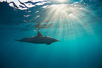 Dolphin swims with sun rays in Maui waters.