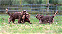 BNPS.co.uk (01202 558833)<br /> Pic: PhilYeomans/BNPS<br /> <br /> Breeder Van Bennett's adult Sussex Spaniels.<br /> <br /> Whisper it quietly...but this puppy could be a lifeline for one of Britains rarest native dog breeds.Only 49 Sussex Spaniels were registered last year with the kennel club - making the ancient British breed rarer than White Rhino's, Tigers or even Giant Panda's. <br /> <br /> Plucky British dog breeds like these adorable Skye Terriers, Sussex Spaniels and Otterhounds are more endangered than the Giant Panda due to the modern infatuation with fashionable crossbreeds and foreign invaders.<br /> <br /> The unprecedented rise in popularity of 'handbag dogs' has put many traditional breeds on the brink of extinction. <br /> <br /> The bottom three in last years KC figures are Skye Terriers(28), Otterhounds(40) and Sussex Spaniels(49) making these adorable puppies a vital lifeline for their historic breeds - by contrast over 20,000 French Bulldog's were registered in 2016.