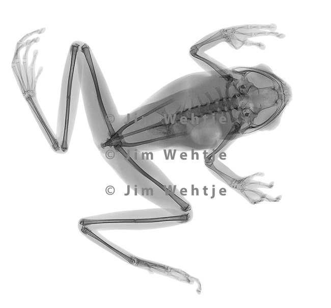 X-ray image of a tree frog sitting (black on white) by Jim Wehtje, specialist in x-ray art and design images.