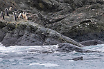 Leopard Seal & Chinstrap Penguins