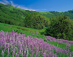 Redwood National Park, CA<br /> open meadow bigleaf lupine (Lupinus polyphyllus) and rolling hills with Oregon white oaks (Quercus garryana)