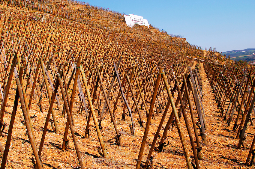 Graphic geometric vineyard with vines trained in 'en echalat' with supporting wooden stakes, winter pruned with no branches or leaves. Sign E Guigal in the background. Terraced vineyards in the Cote Rotie district around Ampuis in northern Rhone planted with the Syrah grape. Ampuis, Cote Rotie, Rhone, France, Europe