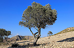 Olive tree in semi desert area near Rodalquilar, Cabo de Gata natural park, Almeria, Spain