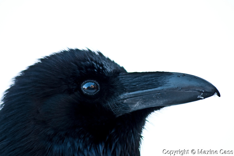 Common Raven (Corvus corax) eye reflects El Capitan, Yosemite National Park, California, United States of America