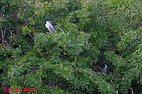 0116-08vv  Pair of Black-crowned Night Heron Resting in Tree - Nycticorax nycticorax © David Kuhn/Dwight Kuhn Photography