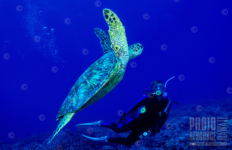Scuba divers swim along with Green Sea Turtles (Honu)in the warm waters of Hawaii.