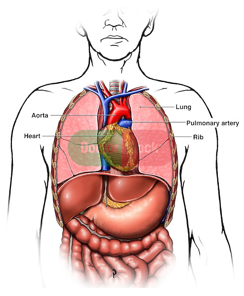 Anatomy Of The Thoracic Chest Organs Doctor Stock