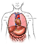 Heart and Lung Anatomy. Thoracic (chest) organs featuring the heart and lungs.