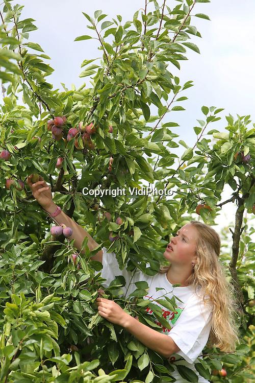 Foto: VidiPhoto<br /> <br /> BUNNIK - De vakantiewerkers/piekarbeiders Ophely Regout (15) en Tim Schippers (17) plukken dinsdag bij Paters' Fruitbedrijf in Bunnik de eerste pruimen van het seizoen. Door de afwisseling van zon en regen groeien de vruchten als kool en moet er al geplukt worden terwijl de kersenoogst bij Jan Mijndert Pater nog in volle gang is. De Bunnikse fruitteler teelt elf soorten kersen en zeven pruimenrassen, die hun weg vinden naar de consument via Veiling Zaltbommel. Voor Pater is het een goed fruitjaar. De teler heeft bovendien tussen zijn boomgaarden een racecircuit voor quads, MTB's en pitbikes, een kopie op schaal van het bekende F1-circuit in Instanbul. Tot oktober kunnen gasten dan zichzelf vermaken met een combinatie van fruit plukken, racen en BBQ. Het zogenoemde Pater Cherry Picking Quad BBQ Experience gaat vanaf volgende week van start.