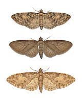 70.156 (1852)<br /> Brindled Pug - Eupithecia abbreviata
