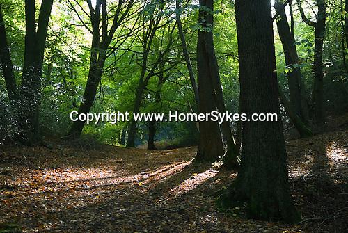 Woods on Leith Hill Surrey UK near Friday Street.