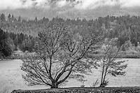 Live Oak and Columbia River, Oregon