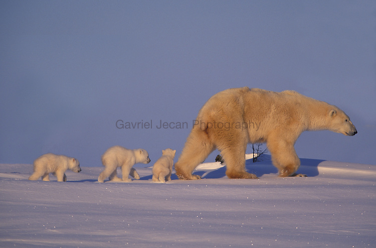Canada, Manitoba, Wapusk National Park. Polar bear cubs and mother.