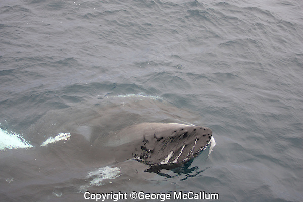 Humpback whale Megaptera novaeangliae feeding just under surface showing  baleen. Kvitøya, Arctic ocean