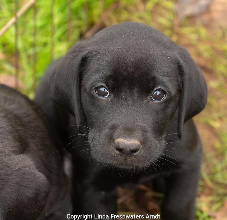 Close up of a black Labrador retriever puppy.