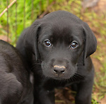 Close up of a black Labrador retriever puppy.