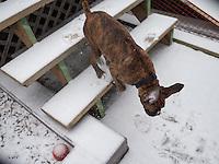 Pork Chops discovers snow