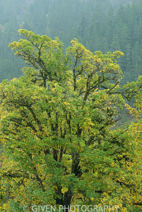 Bigleaf Maple in Ross Lake National Recreation Area, Washington