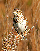 Adult vesper sparrow on weed stems