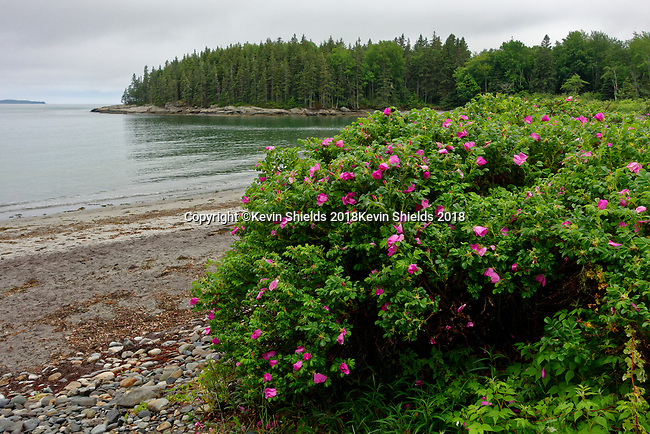 Beach roses at Birch Point Beach State Park, Owls Head, Maine, USA