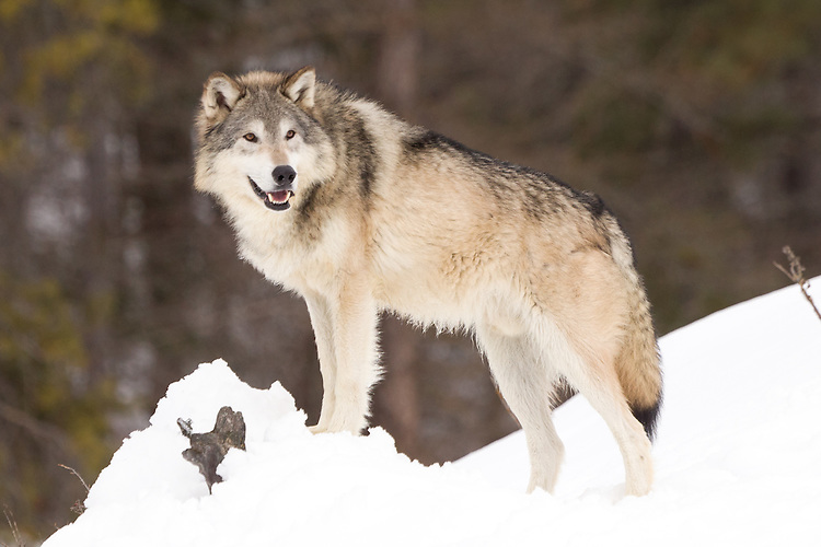 Tundra Wolf standing and watching from the edge of a snowy hill - CA