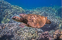 Kona Sea Turtle