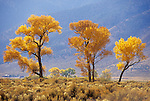Three colorful golden,cottonwood trees, autumn, Carson Valley, Nev...(Populus fremontii)