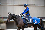 SHA TIN, HONG KONG – December 5:Persian Knight at trackwork on December 5 at Sha Tin Race Course in Hong Kong before starting in the Longines Hong Kong Mile. Michael McInally/Eclipse Sportswire/CSM