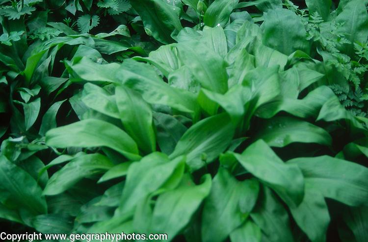 ADD2X9 Ransom plants - wild garlic- showing leaves