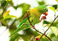 Orange-chinned parakeet eating fruit
