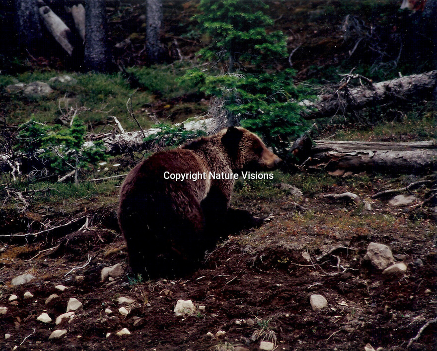 GRIZZLY BEAR<br /> YELLOWSTONE NATIONAL PARK,WYOMING