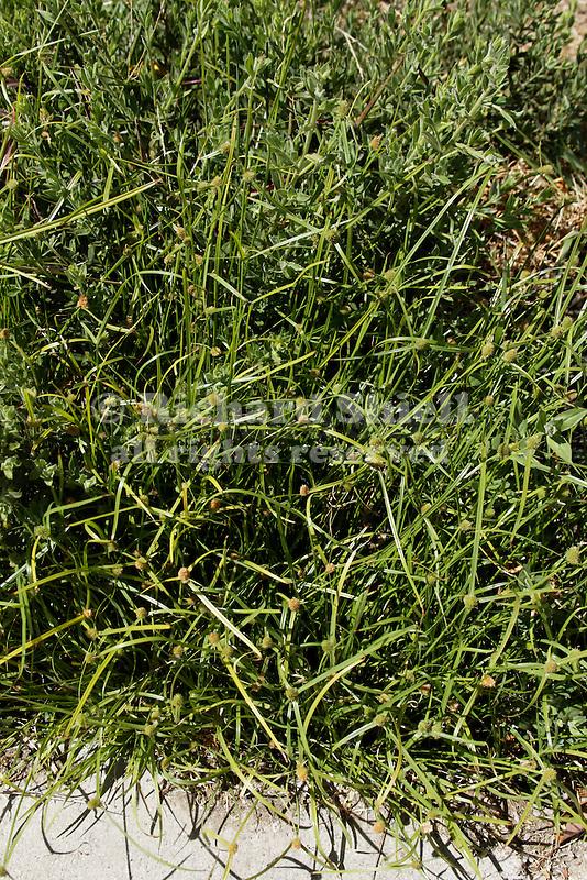 KYLLINGA BREVIFOLIA, GREEN KYLLINGA, WEED