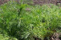 Echte Kamille, Blatt, Blätter vor der Blüte, Blattrosette, Matricaria recutita, Syn. Chamomilla recutita, Matricaria chamomilla, German Chamomile, wild chamomile, scented mayweed