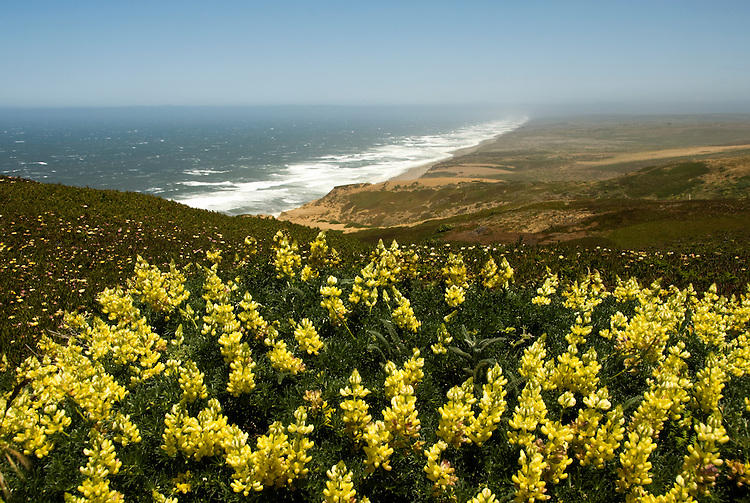 California: Yellow lupines at Point Reyes National Seashore near San Francisco. Photo copyright Lee Foster. Photo # casanf81223