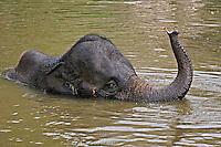 Asian Elephant bathing, Thai Elephant Conservation Center, Lampang, Thailand
