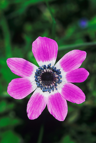 Poppy Anemone, Anemone coronaria, blooming, Samos, Greek Island, Greece, April 1994