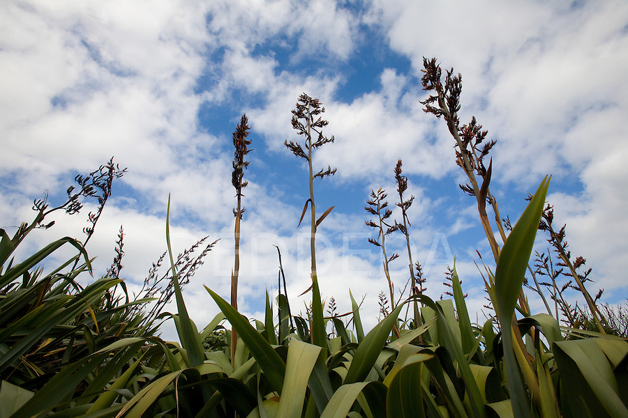 New Zealand flax grows at Muriwai Beach on the west coast of the North Island of New Zealand.