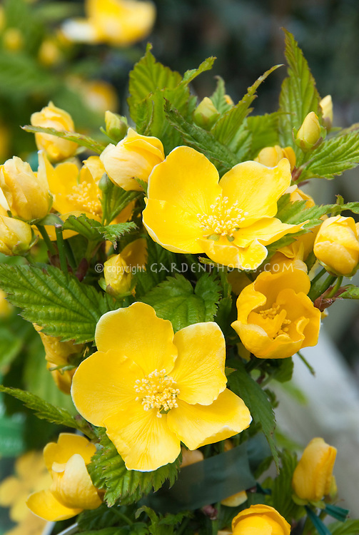 Single yellow flowers of Kerria japonica Honshu